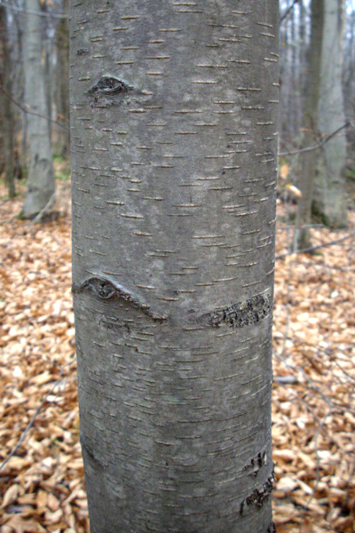 The bark of a younger black birch