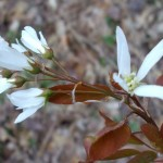 Serviceberry in the Spring