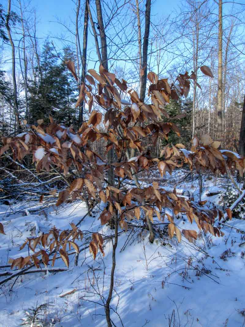 Young Beech in January