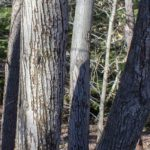The classic vertical bark grooves and multiple trunks of the serviceberry