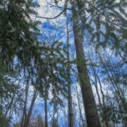 Hemlocks and Sky