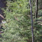 Pennsylvania's State Tree and an evergreen component of our regional forests